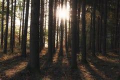 Drzewni bagażniki i słońce promienie w jesień lesie obrazy royalty free
