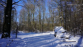 Drzewni bagażniki w zimie Zdjęcie Stock