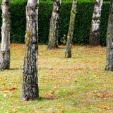 drzewni bagażniki Obrazy Stock