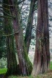 Drzewni bagażniki Zdjęcia Royalty Free