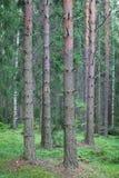 Drzewni bagażniki w lesie Fotografia Royalty Free