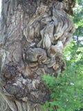 Drzewni Burls z Abstrakcjonistycznymi formami Obraz Stock