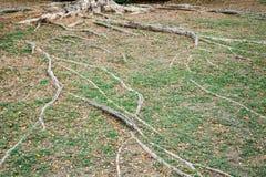 Drzewni korzeni arywiści na ziemi Zdjęcie Stock