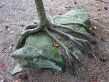 Drzewni korzenie ściska skałę Obrazy Stock
