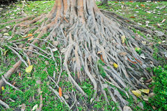 Drzewni korzenie Zdjęcie Royalty Free