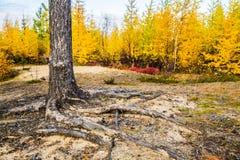 Drzewni korzenie Obrazy Royalty Free