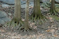 Drzewni korzenie Zdjęcia Stock
