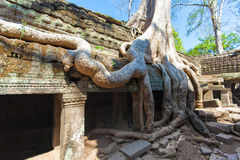Drzewni korzenie historyczna Khmer świątynia wewnątrz i, Obraz Royalty Free