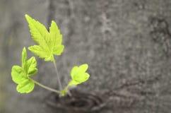 drzewni nowi krótkopędy fotografia stock