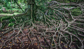 drzewni odsłonięci korzenie Obraz Royalty Free