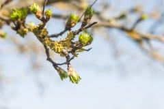 Drzewni pączki Fotografia Stock