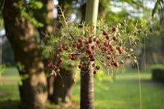Drzewni plam potomstwa w ogródzie, Thailand Fotografia Royalty Free