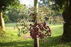 Drzewni plam potomstwa w ogródzie, Thailand Fotografia Stock