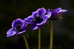 Drzewni purpurowi anemony w ciemnym tle obrazy royalty free