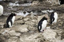 DRZEWNI ROCKHOPPER pingwiny Obrazy Stock