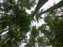 Drzewni wierzchołki obrazy royalty free