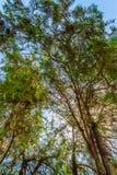 Drzewni wierzchołki Zdjęcia Stock