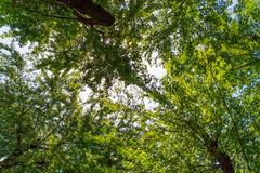 Drzewni wierzchołki Fotografia Royalty Free