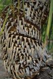 Drzewny bagażnik dasylirion acrotrichum dracenaceae palmowego liścia rośliny drzewo od Mexico Zdjęcia Royalty Free