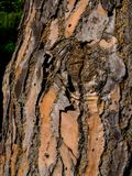 Drzewny bagażnik doceniać teksturę drzewo obrazy stock