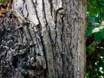 Drzewny bagażnik doceniać teksturę drzewo zdjęcia stock