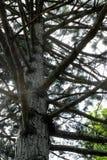 Drzewny bagażnik i gałąź Sosny, dolny widok gałąź jak kroki fotografia stock
