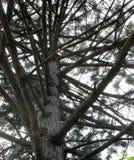 Drzewny bagażnik i gałąź Sosny, dolny widok gałąź jak kroki zdjęcie royalty free