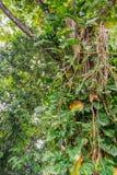 Drzewny bagażnik opleciony z lianą w tropikalnym lesie fotografia royalty free