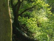 drzewny bagażnik przed zwartym kołtuniastym lasem z wibrującym ulistnieniem i jaskrawym światła słonecznego jaśnieniem chociaż dr obraz royalty free