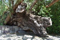 Drzewny bagażnik spadać nad kurenda kamienia drzewnym garnkiem, 2 obrazy stock
