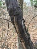 Drzewny bagażnik, uszkadzająca czerni barkentyna las jesieni Zdjęcia Stock