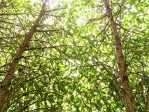 Drzewny bagażnik w górę wysokości z zielonym liściem i pięknym światłem w backgr Obraz Stock