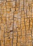 Drzewny bagażnik z krakingową korowatą tło fotografią obrazy stock