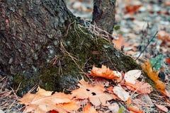 Drzewny bagażnik z spadać jesień liśćmi zamyka up Zdjęcie Royalty Free