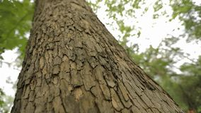 Drzewny bagażnik zamknięty w górę, klonowy bagażnik zamknięty w górę, textured drzewna barkentyna zamknięta w górę zdjęcie wideo