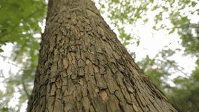 Drzewny bagażnik zamknięty w górę, klonowy bagażnik zamknięty w górę, textured drzewna barkentyna zamknięta w górę zbiory