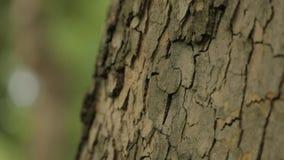 Drzewny bagażnik zamknięty w górę, klonowy bagażnik zamknięty w górę, textured drzewna barkentyna zamknięta w górę zbiory wideo