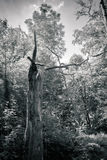 Drzewny bagażnik w lesie Fotografia Royalty Free