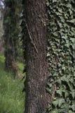 Drzewny bagażnik z bluszczem Zdjęcie Stock