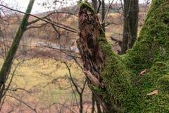 Drzewny bagażnik z mech Obrazy Royalty Free