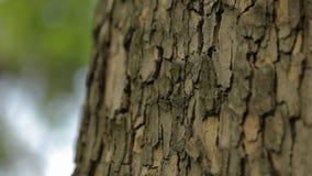 Drzewny baga?nik zamkni?ty w g?r?, klonowy baga?nik zamkni?ty w g?r?, textured drzewna barkentyna zamkni?ta w g?r? zbiory wideo