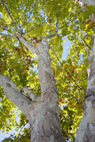 drzewny bagażnik Obrazy Royalty Free