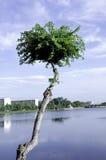 Drzewny baldachim. Fotografia Royalty Free