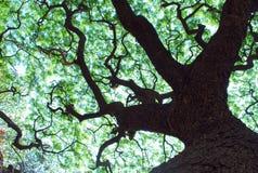 Drzewny Baldachim Obraz Royalty Free