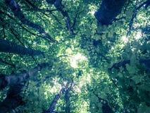 Drzewny baldachim przeglądać spod spodu Zdjęcia Stock