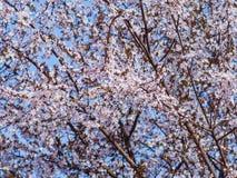 Drzewny baldachim w pe?nym kwiacie pe?no delikatni biali malutcy kwiaty zdjęcie royalty free