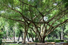 Drzewny banyan rozgałęzia się za pięćdziesiąt metrach na parku nad obrazy royalty free