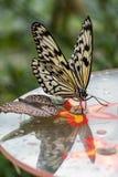 Drzewny boginka motyl lub Ry?owego papieru motyl, pomys?u leuconoe na kwiatach fotografia stock