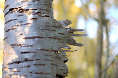 Drzewny brzoza srebny bagażnik Obrazy Royalty Free