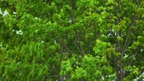 Drzewny chodzenie w wiatrze w zwolnionym tempie zbiory